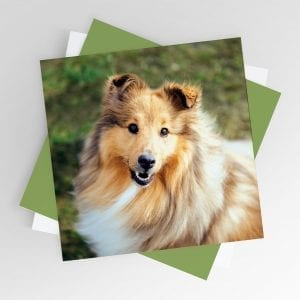 Smiling Sheltie Greeting Card