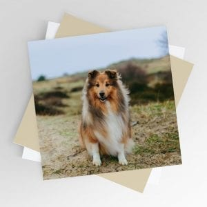 Sheltie on a Windy Day Greeting Card