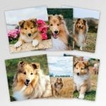 Multipack of 6 Sheltie Greeting Cards