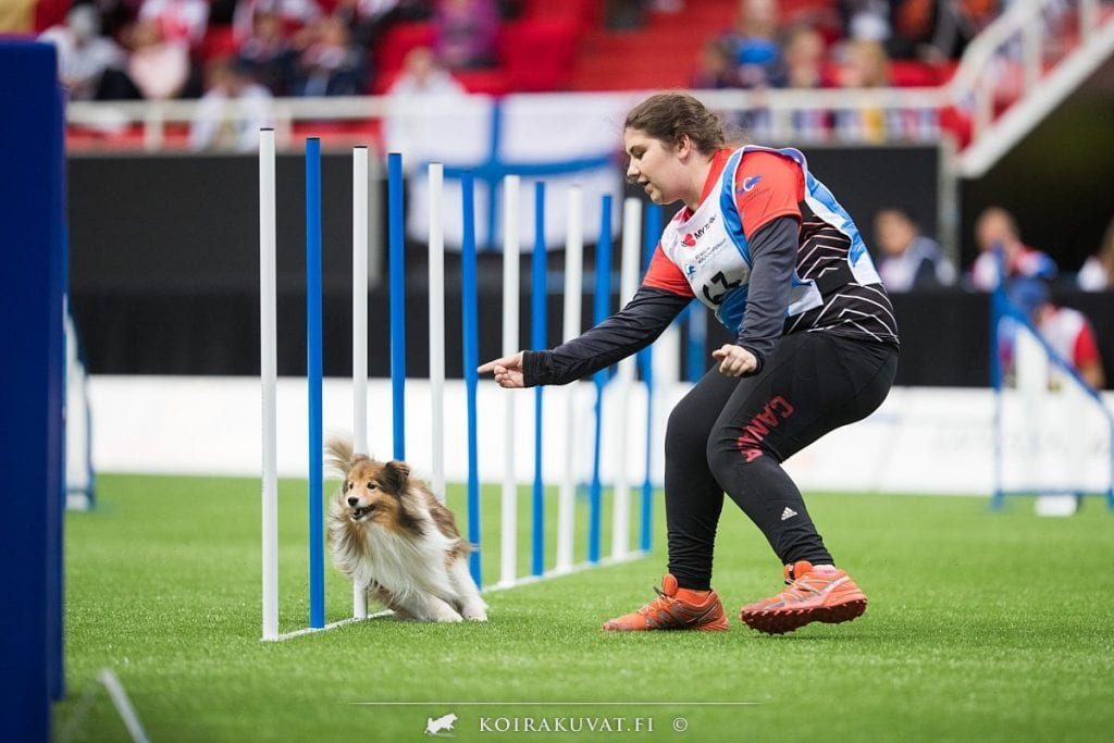 Sheltie competing at Agility World Championships 2019