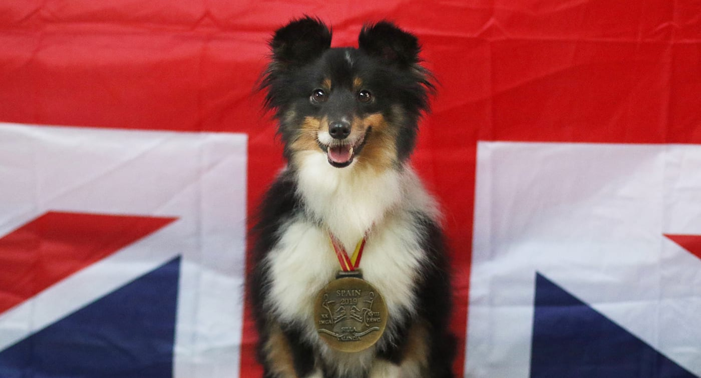 Halo the Sheltie from the Team GB Developement Squad 2020